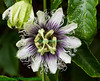 Frederick Passion Flower