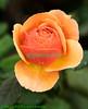 Top side of petals are vibrant yellow; undersides are orange... gotta love it!