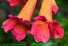 Virginia Creeper tubular blooms with raindrop decorations