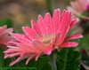 Peach Gerbera Daisies getting their faces washed with raindrops.