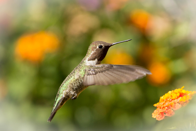 Hummingbird Dance