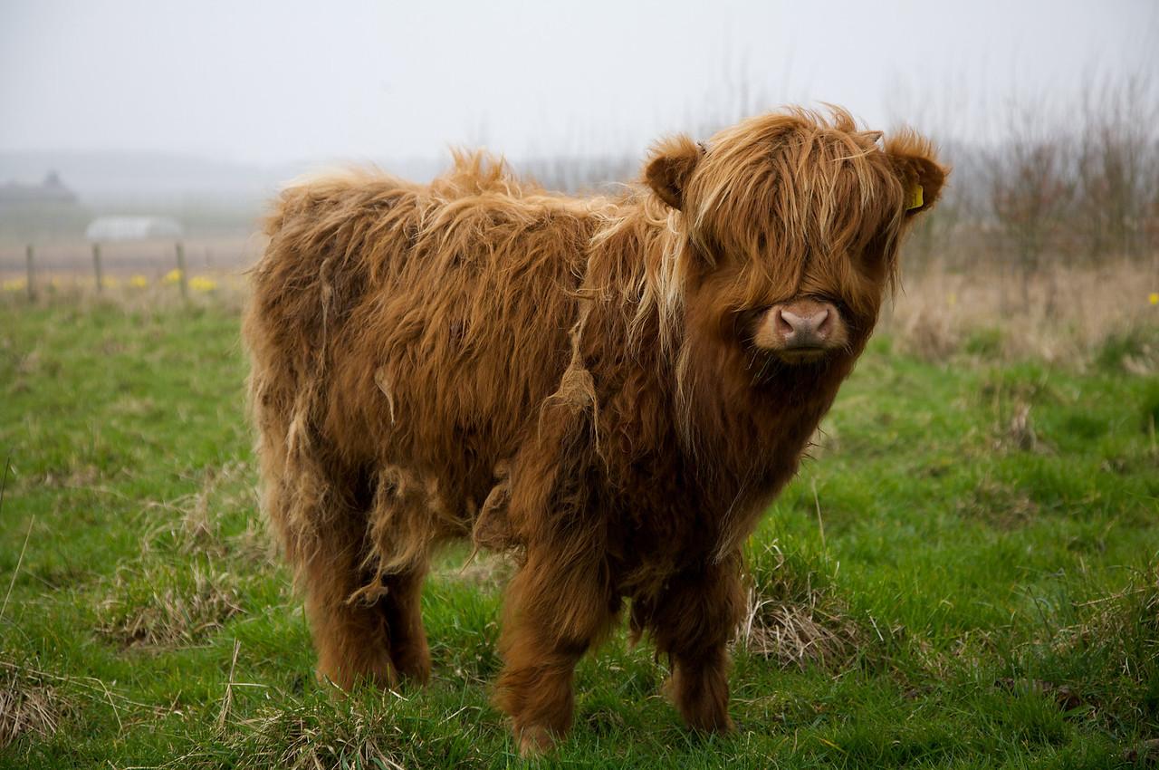 Highland Cow (2) at Fir Tree Farm