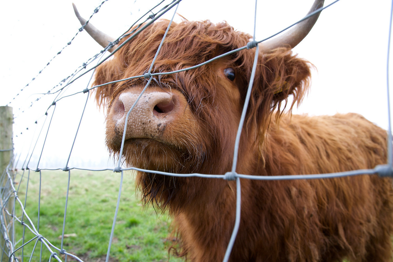 Highland Cow at Fir Tree Farm