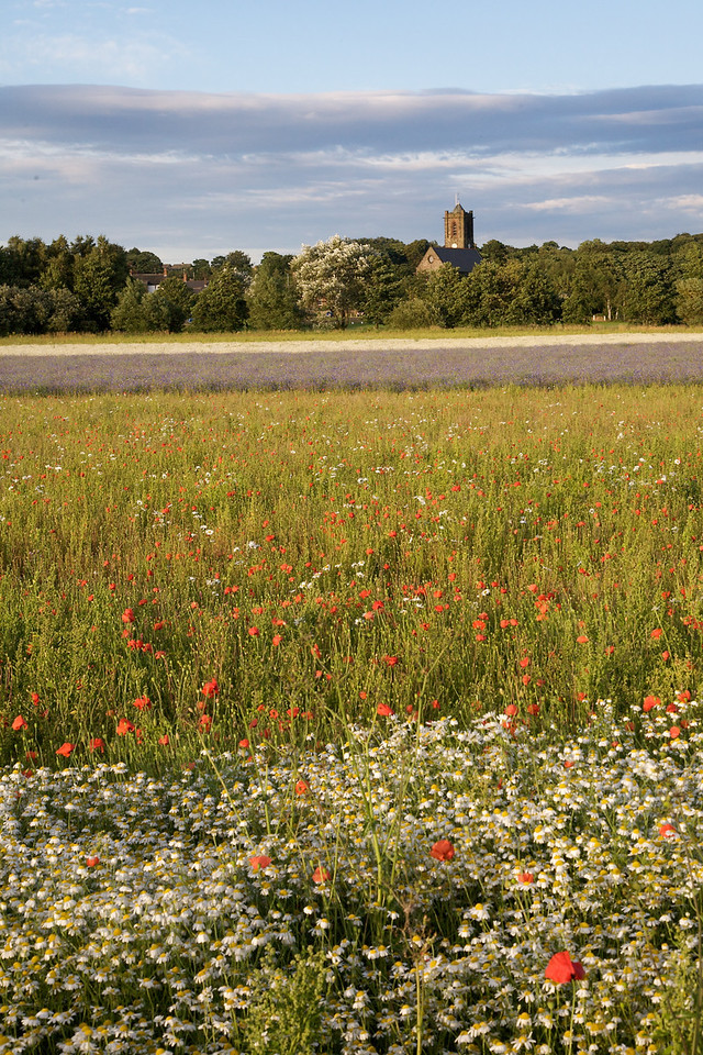 Rainford Poppy Fields 3