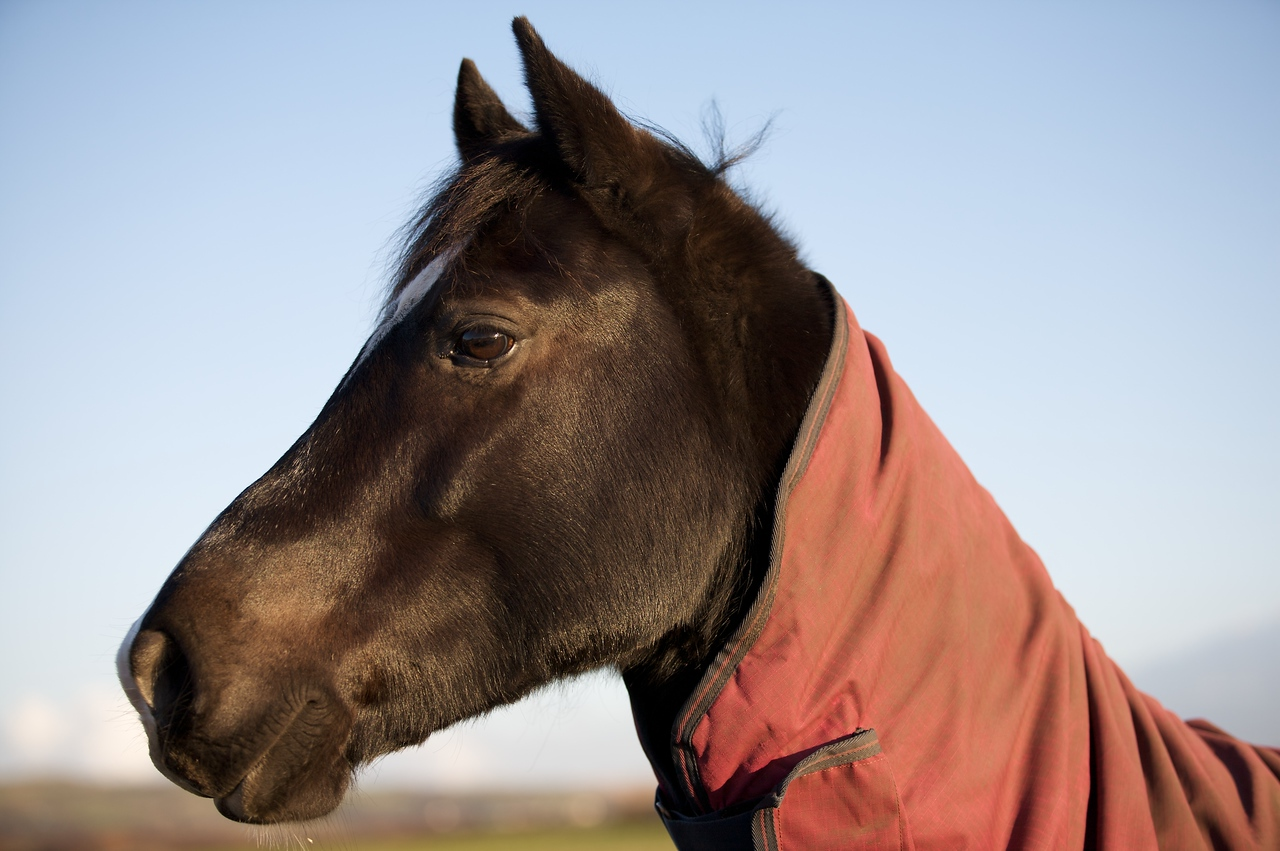 Horse in Red Jacket