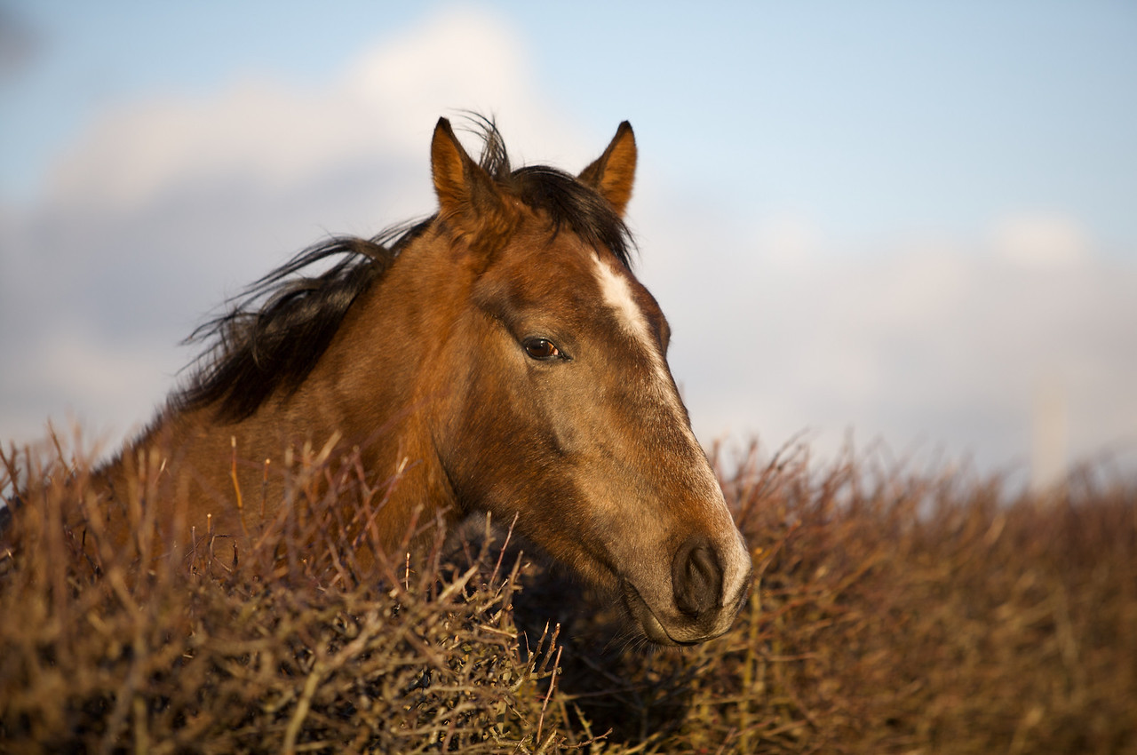 Horse at the Hedge