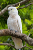 Sulphur crested Cockatoo (7)