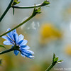 Chicory blossom greeting the dawn