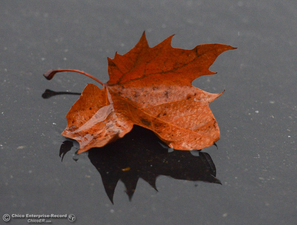 . A leaf resting on in a puddle in front of the Enterprise-Record, Thursday, January 18, 2018 in Chico, California. (Carin Dorghalli -- Enterprise-Record)