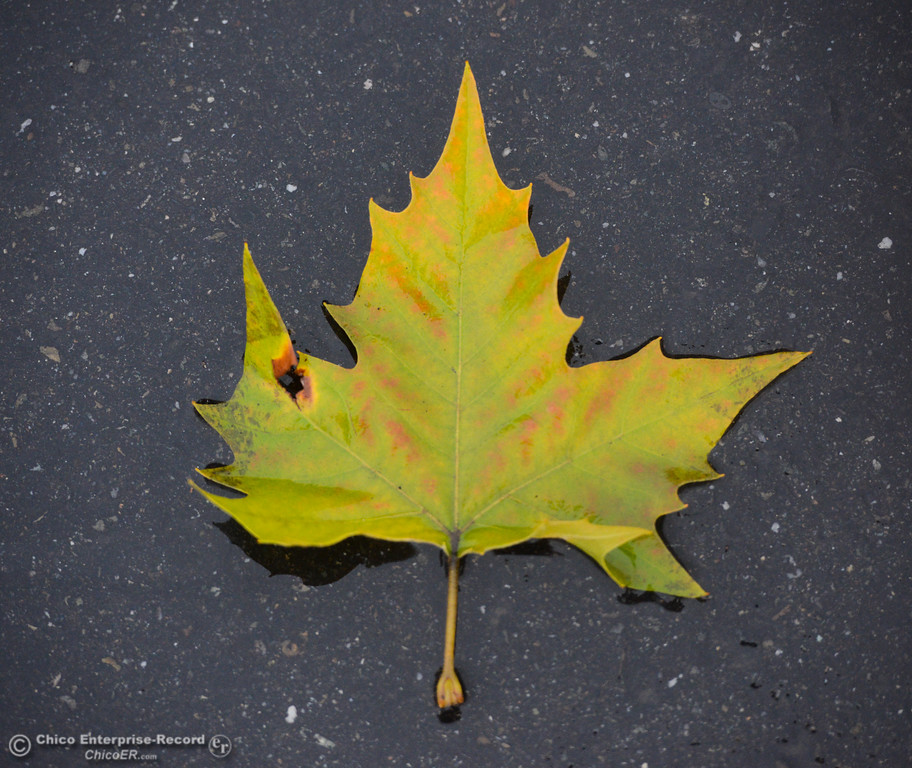 . A leaf resting on the parking lot in front of Enterprise-Record, Thursday, January 18, 2018 in Chico, California. (Carin Dorghalli -- Enterprise-Record)
