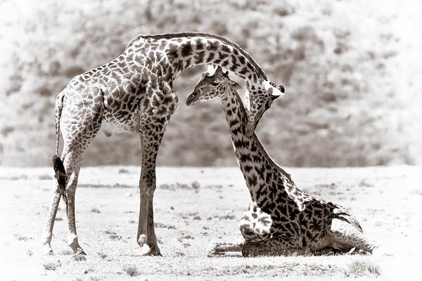 Loving Giraffes