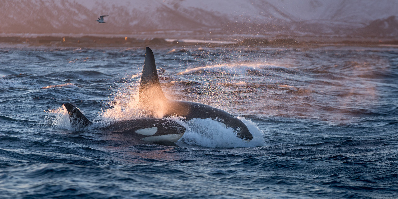Pair of Orcas