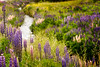 Lupines in the valley.  www.rajguptaphotography.comk