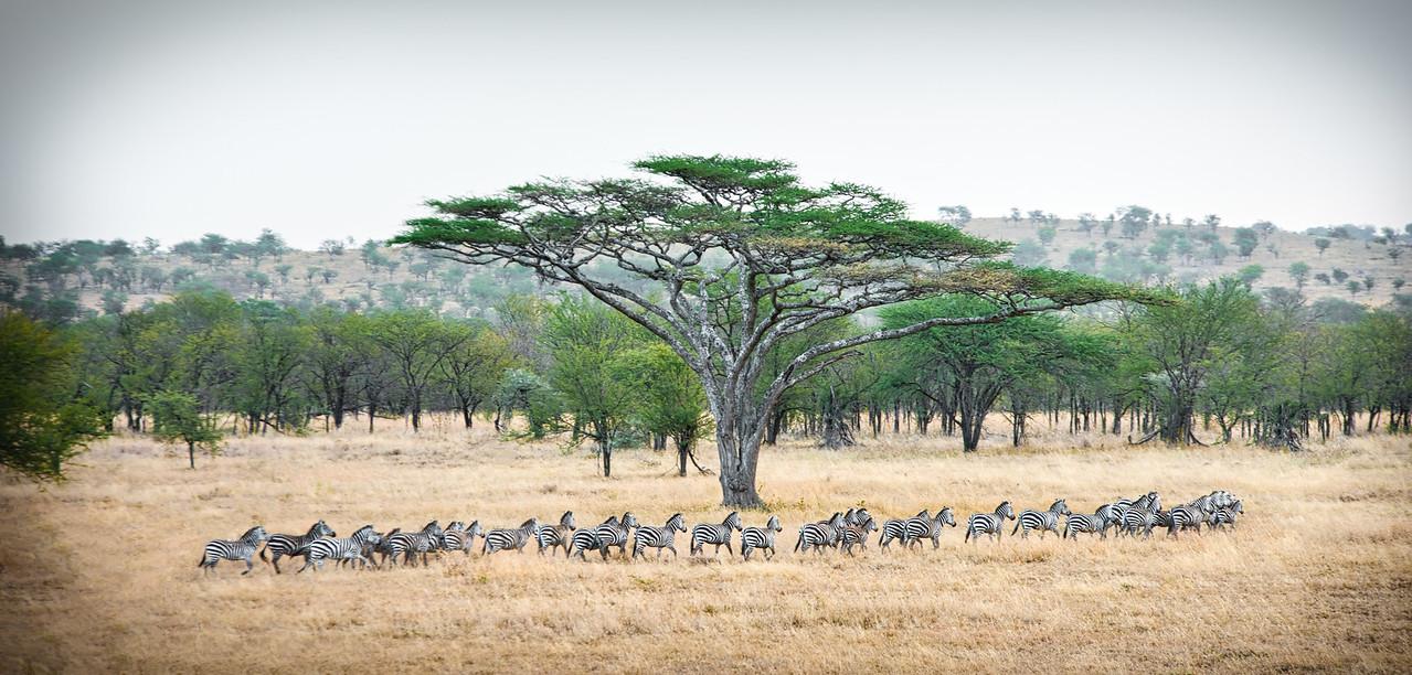 The zebras go marching - www.rajguptaphotography.com