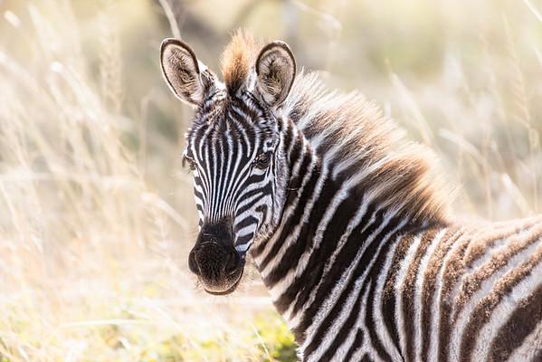 Baby Zebra - www.rajguptaphotography.com
