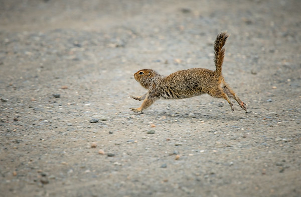 Arctic ground squirrel making a run for it