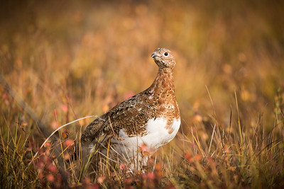 Ptarmigan in the Yukon - www.rajguptaphotography.com