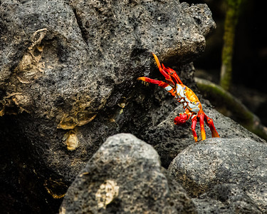 Sally Lightfoot Crab for the reach