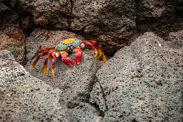 Sally Lightfoot Crab in Galapagos Islands