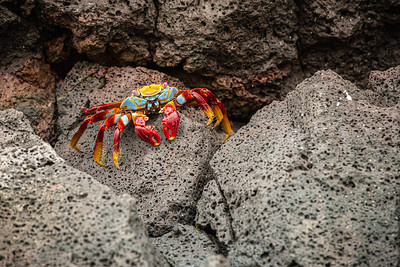 Sally Lightfoot Crab in Galapagos Islands