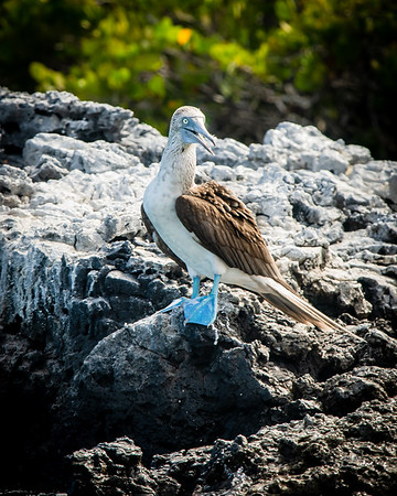 Blue-footed Boobie on the rocks