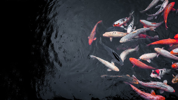 Koi fish in the rain