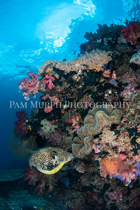 Puffer Fish Among the Corals