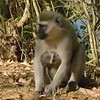 Mama Vervet Monkey and her baby at Nile River Camp outside of Jinja, Uganda.