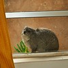 Cute little Hyrax hides from the rain under the eaves at our home for the week in beautiful Kitengela next to the Nairobi National Park.