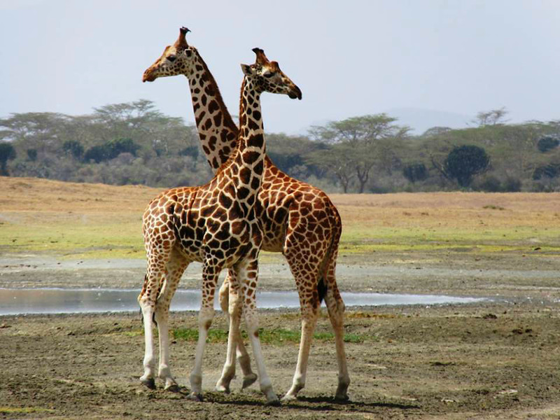 "These male giraffes are found ""necking"" that is a type of mock fighting."