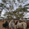 The indiginous cattle at Soysambu Wild Festival supporting wildlife and peace.