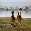 Giraffes gather at the lake on our ride into Soysambu Conservancy in Kenya.