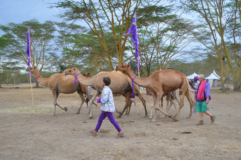 The camels are walked to the camel race at Soysambu Wild Festival supporting wildlife and peace.