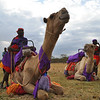 Somburu camel herders take care of the camels at Soysambu Wild Festival supporting wildlife and peace.