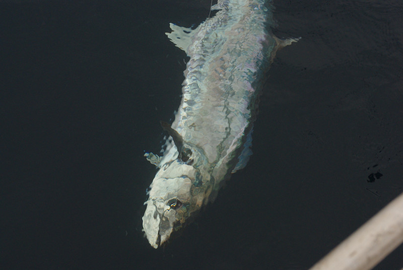 Spanish Mackerel.