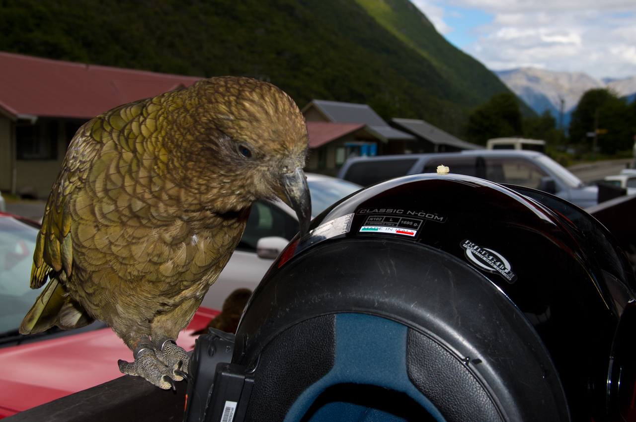 Kea at Arthurs Pass, NZ