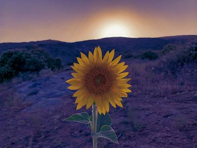 Simon's Sunflower - Ramona, CA