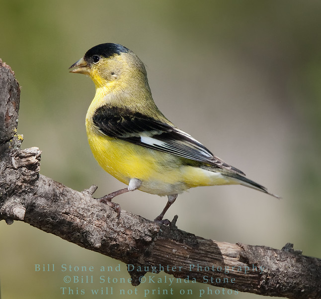 Male lesser goldfinch - Spinus psaltria - Monterey County - California