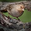 California Towhee - Pipilo crissalis  - Monterey County, California
