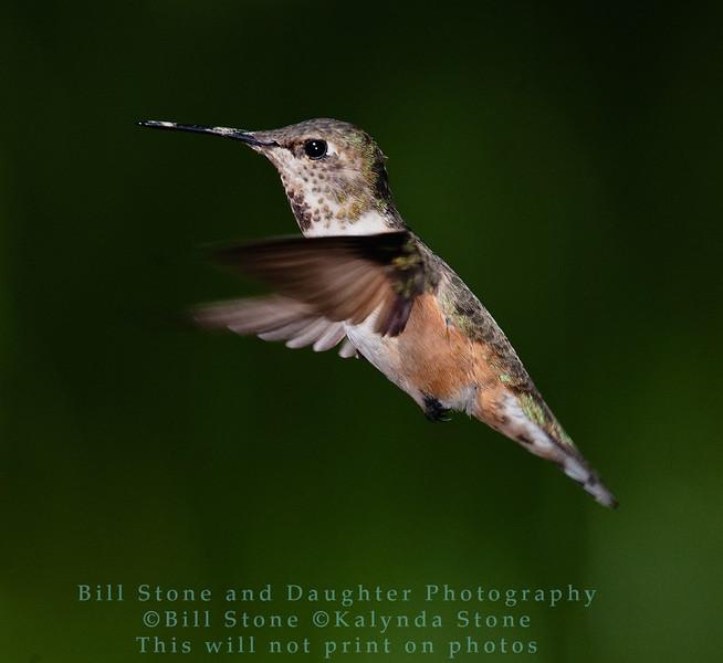 Rufous Hummingbird - Selasphorus rufus  - Monterey County, California