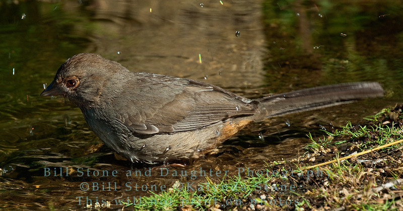 Bathing - California Towhee - Pipilo crissalis - Monterey County, California