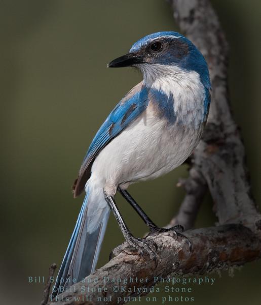 Western Scrub-Jay  - Aphelocoma californica - Monterey County California