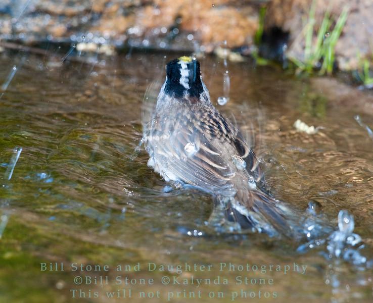 Bathing golden-crowned sparrow - Zonotrichia atricapilla - monterey county, california