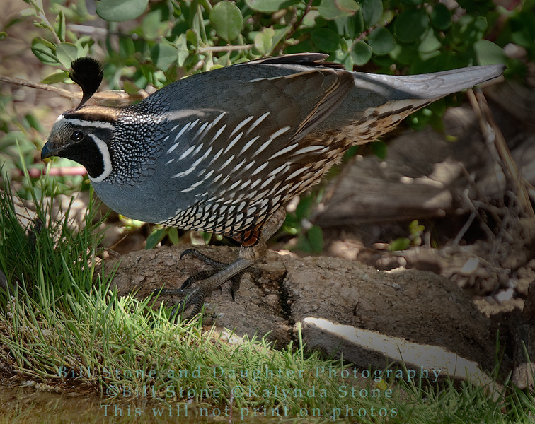 California Quail - Callipepla californica -monterey county, california