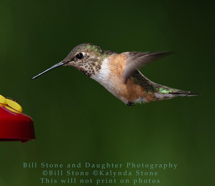 Rufous Hummingbird  and ant on feeder - Selasphorus rufus  - Monterey County, California