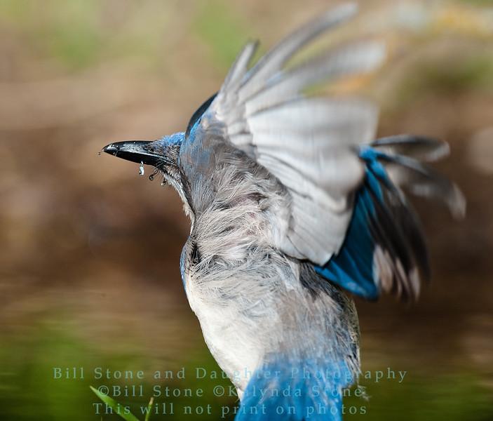 Western Scrub-Jay  - Aphelocoma californica - Monterey County California -  after bath