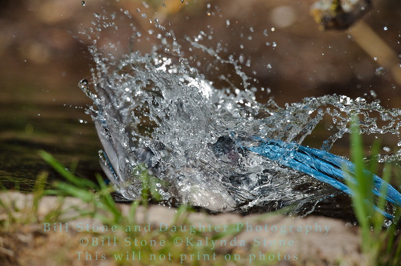 Bathing Western Scrub-Jay  - Aphelocoma californica - Monterey County California