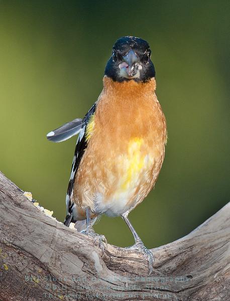 Male Black-Headed Grosbeak - Pheucticus melanocephalus - Monterey County, California