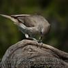 Oak Titmouse - Baeolophus inornatus - monterey county, california