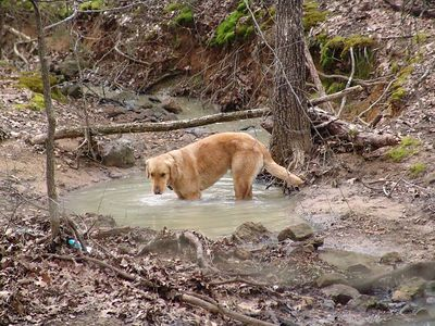 The neighbors dog, Buckley, enjoys one of the little pools in the stream.